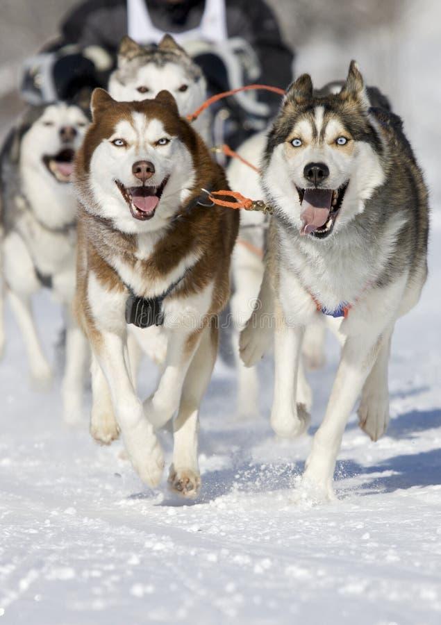 Husky race stock image