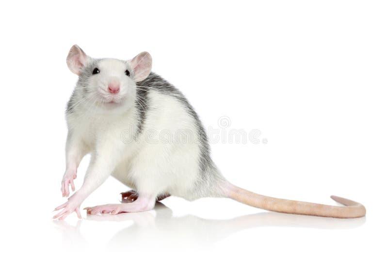 Husky Rat stock images