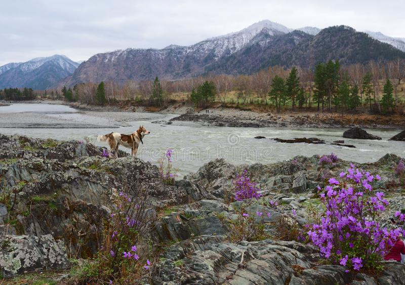 Dog on the rocky shore of Katun. Husky on the rocky banks of the river raised his head. Lilac Bush blooming of maralnik rhododendron ledebourii, pine trees stock photos
