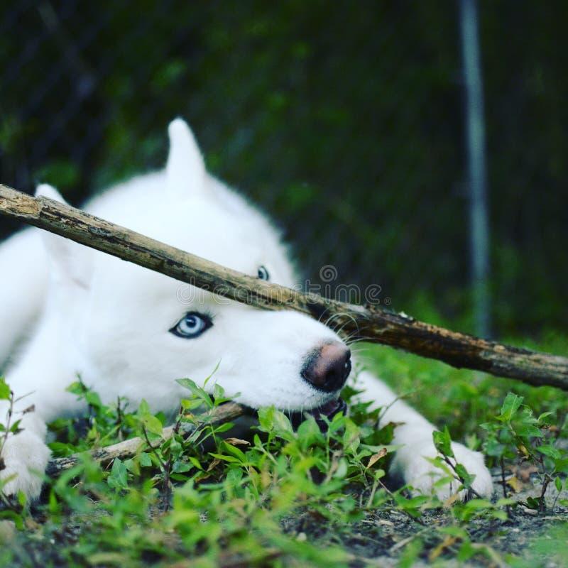 husky fotografia de stock royalty free