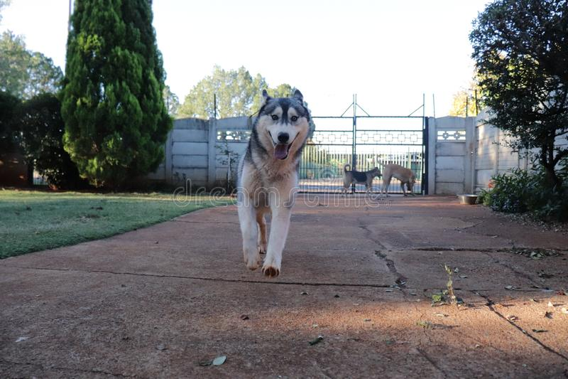 Husky Running In Motion fotografie stock libere da diritti