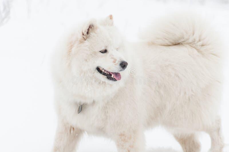 Husky samoiedo siberiano felice che cammina nel parco il giorno di inverno immagine stock libera da diritti