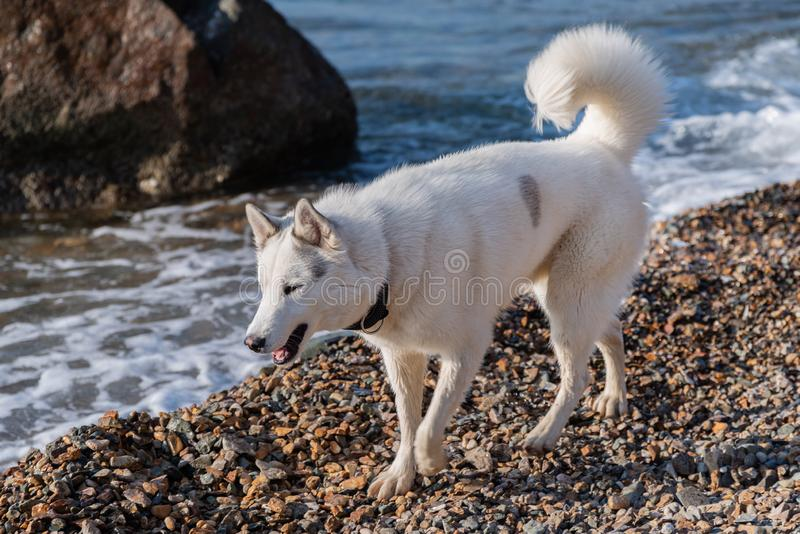 Husky by the sea shore royalty free stock photography