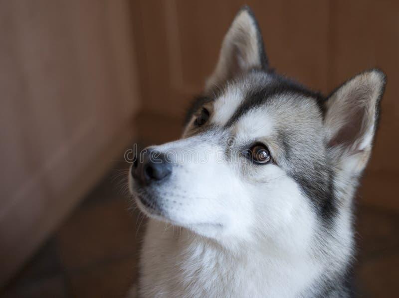 Download Husky stock image. Image of utonagan, sled, eyes, whiskers - 39505173