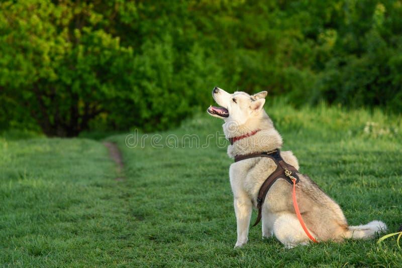 husky siberian för hund arkivfoto