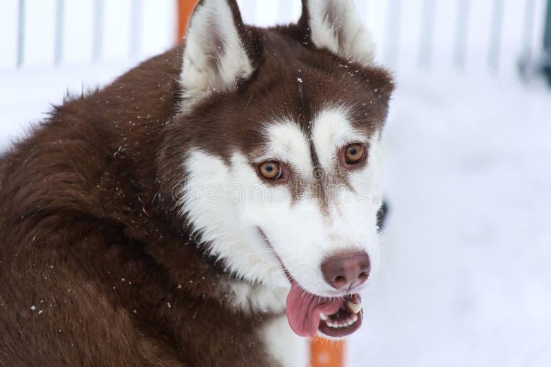 Husky Siberian heureusement riant et souriant photos libres de droits