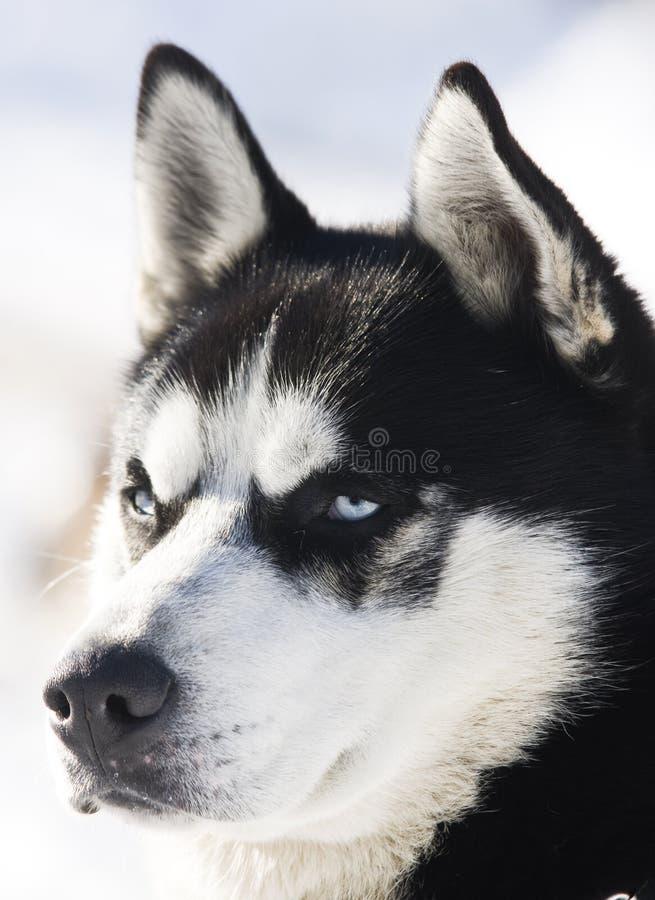 husky siberian snow royaltyfri bild