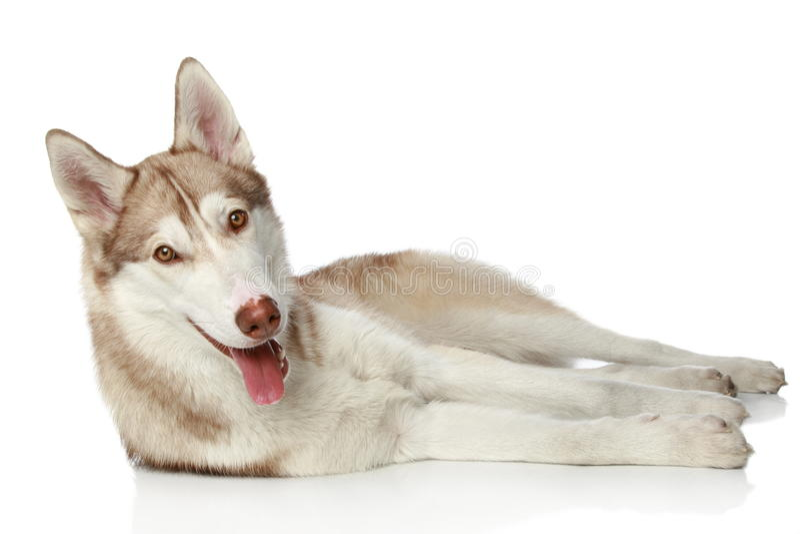 husky siberian white arkivbild