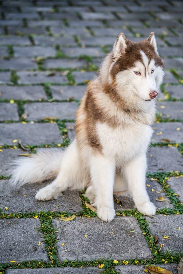 Husky siberiani che si siedono sulla via nel parco immagine stock libera da diritti