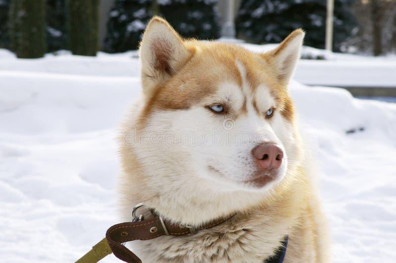 Husky siberiano foto de archivo