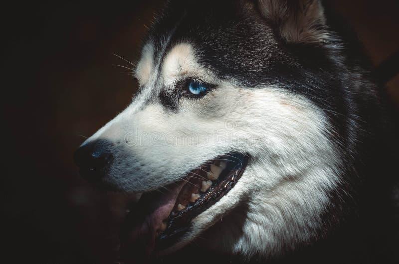 Husky siberiano immagini stock