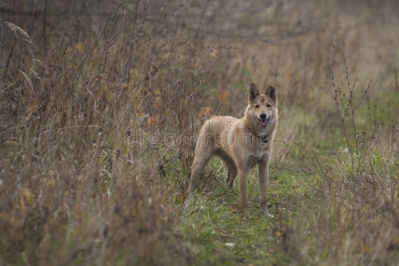 Husky siberiano ad ovest del cucciolo nel campo fotografia stock