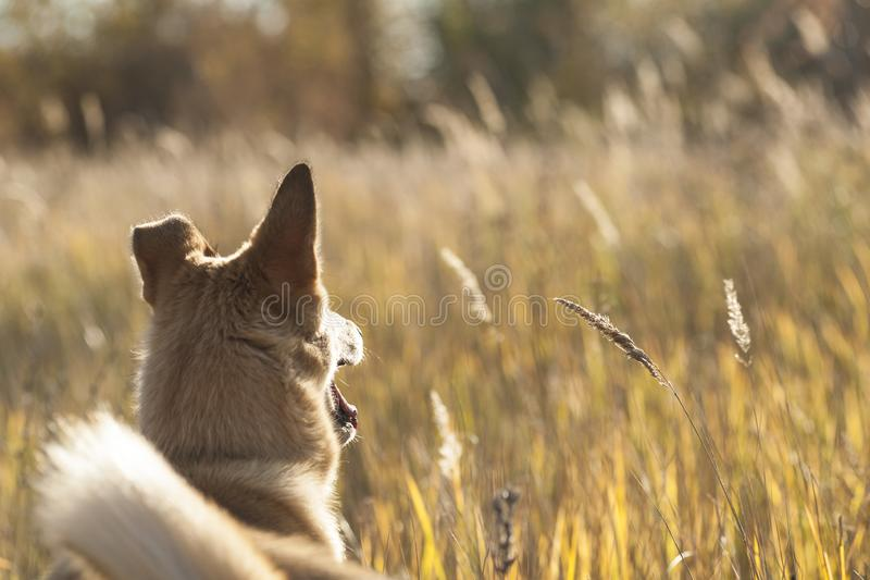 Husky siberiano ad ovest del cucciolo nell'erba di autunno fotografie stock