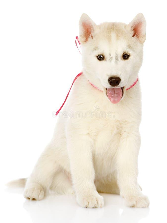 Husky siberiano che si siede nella parte anteriore Su fondo bianco fotografie stock