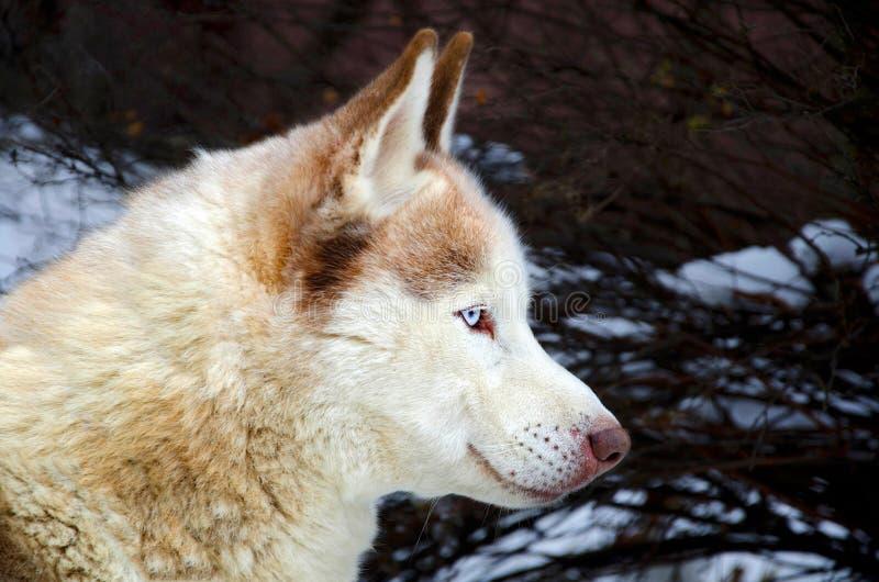 Husky siberiano con gli occhi azzurri fotografia stock immagine di bello freddo 28676626 - Husky con occhi diversi ...
