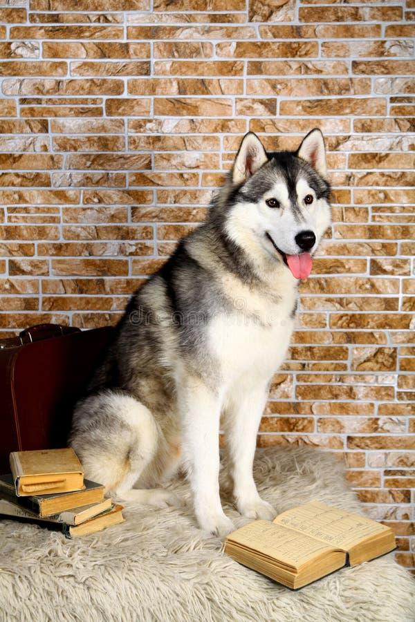 Husky siberiano con il libro fotografie stock