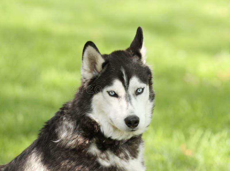 Husky siberiano con la expresión confusa foto de archivo libre de regalías