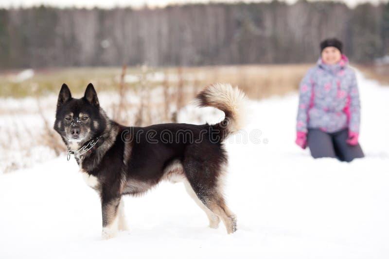 Husky siberiano de la raza del perro fotografía de archivo libre de regalías