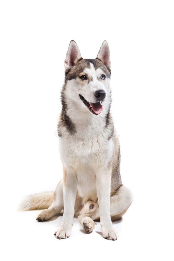 Husky siberiano de la raza del perro en un fondo blanco imagenes de archivo
