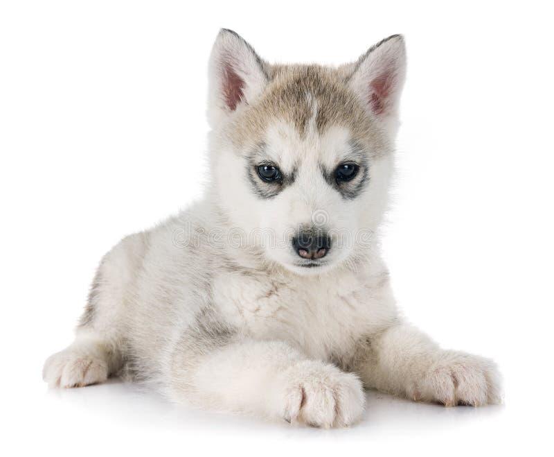 Husky siberiano del cucciolo immagini stock libere da diritti