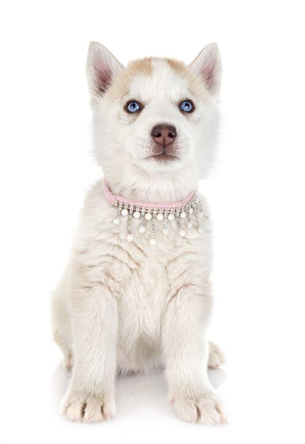 Husky siberiano del cucciolo fotografie stock libere da diritti