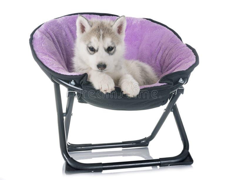 Husky siberiano del cucciolo fotografia stock