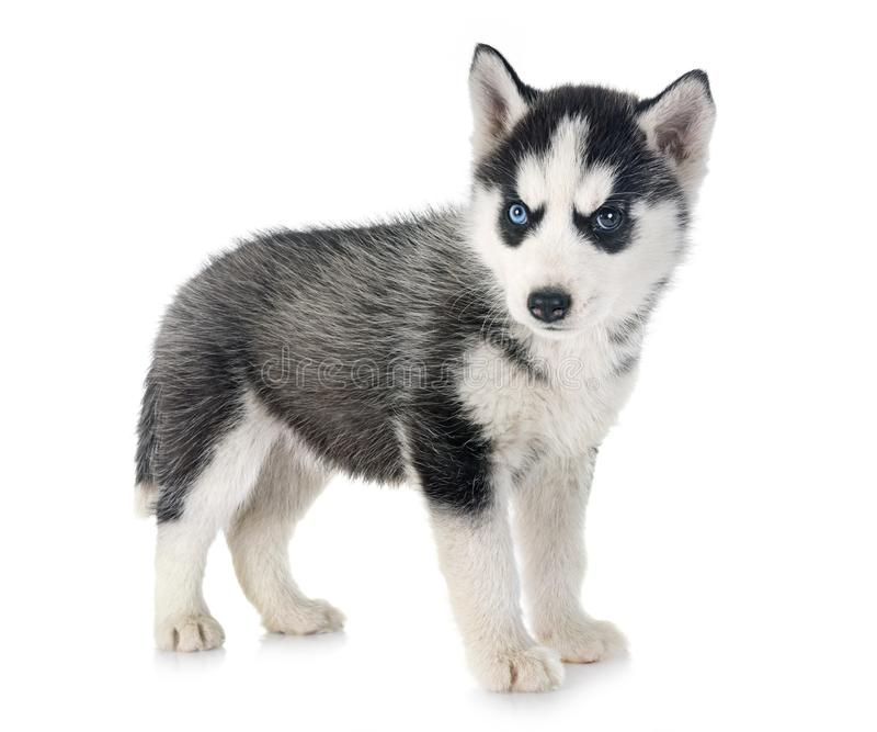 Husky siberiano del perrito imagen de archivo