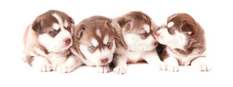 Husky siberiano del perrito de Brown, en el fondo blanco imagenes de archivo