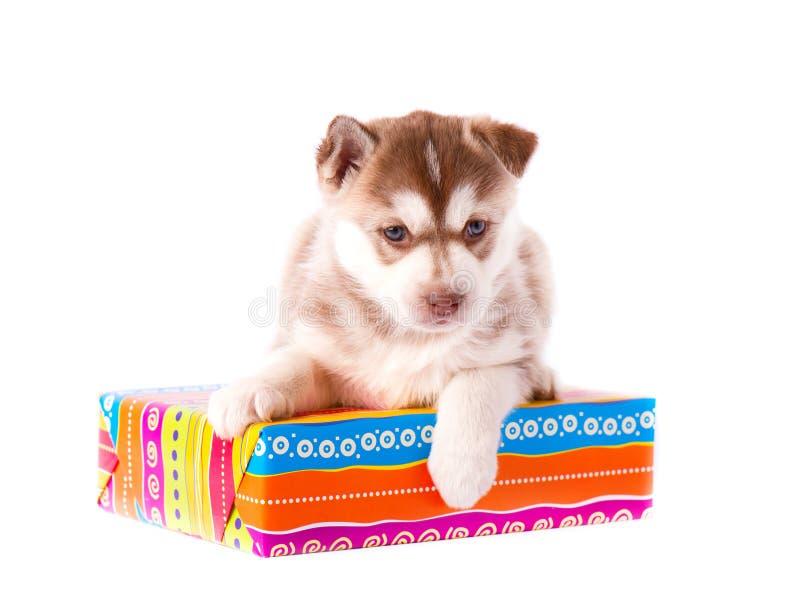 Husky siberiano del perrito que se sienta en una caja de regalo, en el fondo blanco imágenes de archivo libres de regalías