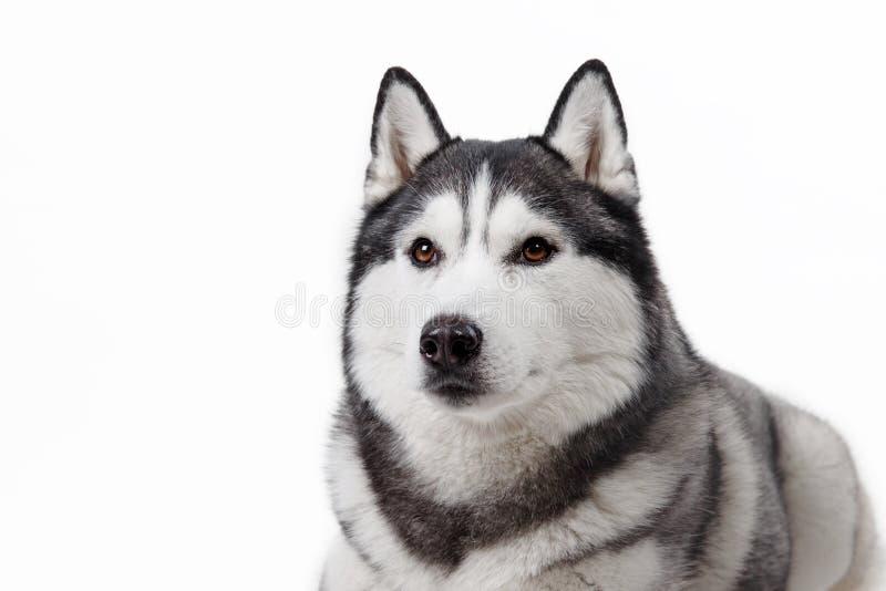 Husky siberiano del perro en un fondo blanco foto de archivo