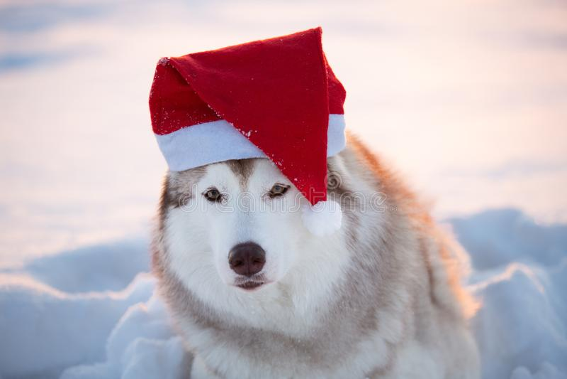 Husky siberiano della bella razza del cane in cappuccio Santa Claus nel campo di inverno al tramonto fotografia stock libera da diritti