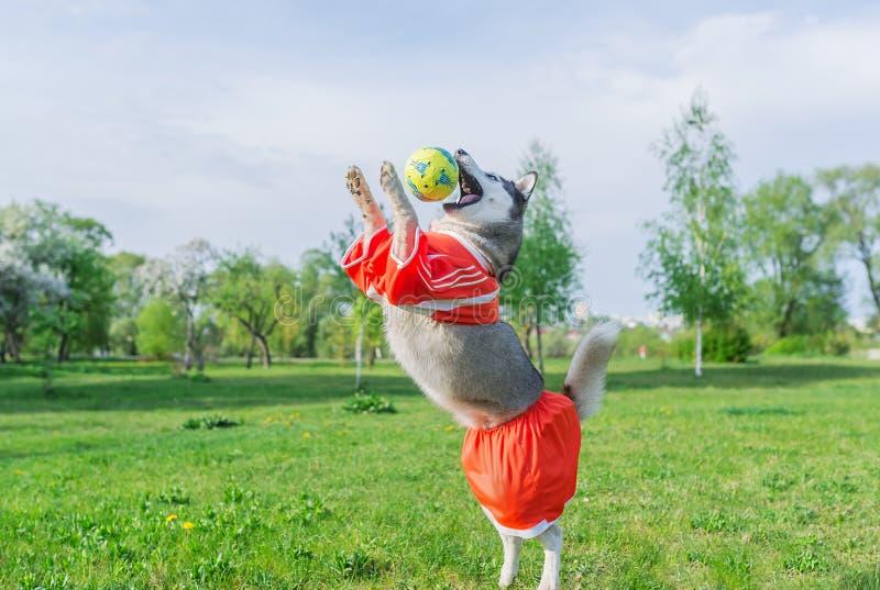 Husky siberiano en el traje rojo que juega con una bola al aire libre foto de archivo