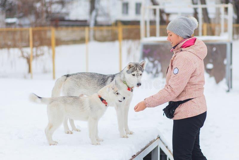 Husky siberiano en invierno de la nieve imágenes de archivo libres de regalías