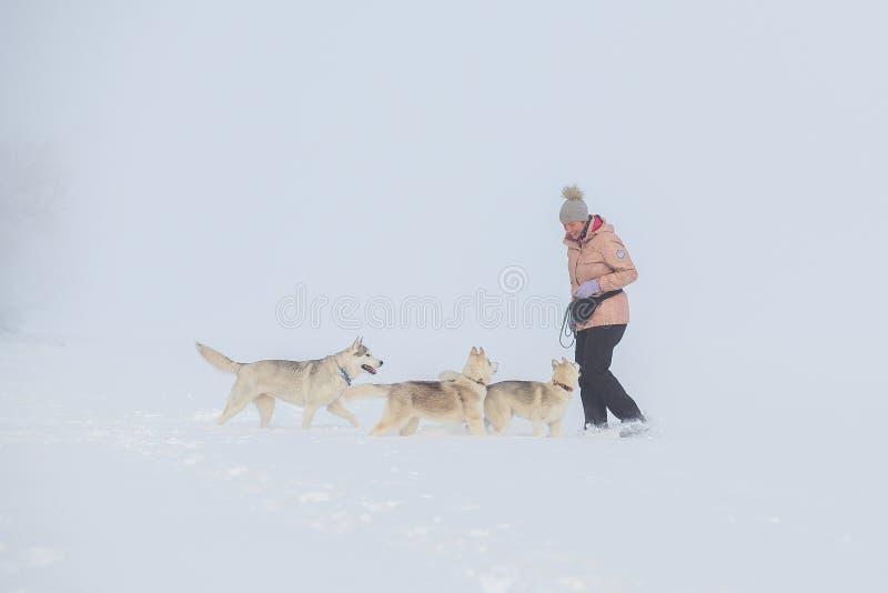 Husky siberiano en invierno de la nieve fotos de archivo