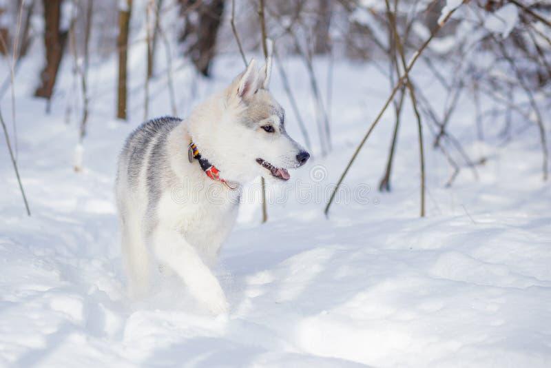 Husky siberiano en invierno de la nieve fotos de archivo libres de regalías