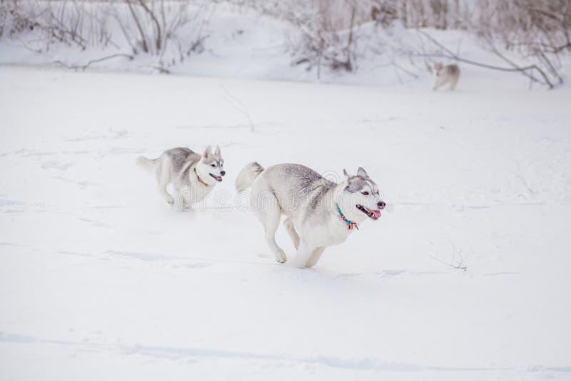 Husky siberiano en invierno de la nieve imagenes de archivo
