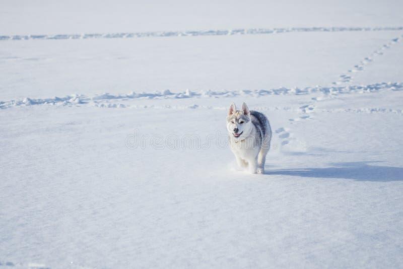 Husky siberiano en invierno de la nieve fotografía de archivo libre de regalías