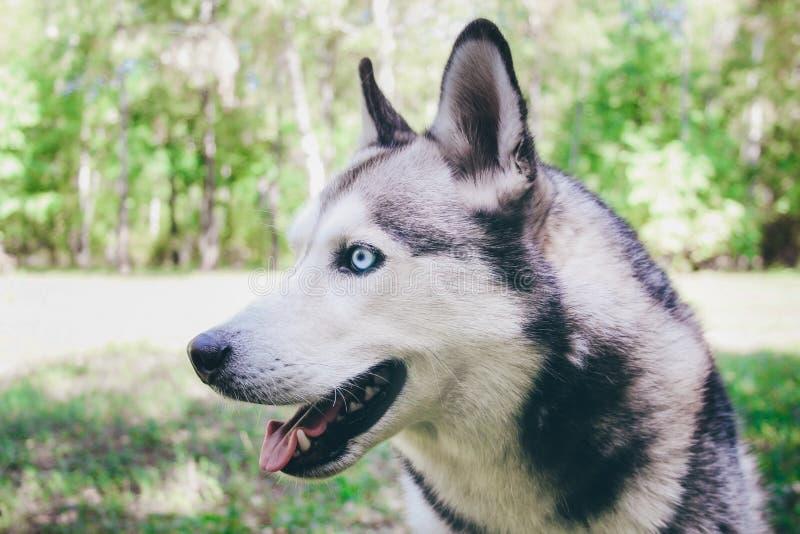 Husky siberiano en la hierba en un parque imagen de archivo libre de regalías