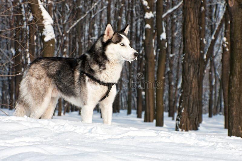 Husky siberiano II fotografía de archivo