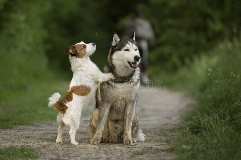 Husky siberiano, Jack Russell Terrier fotografía de archivo libre de regalías