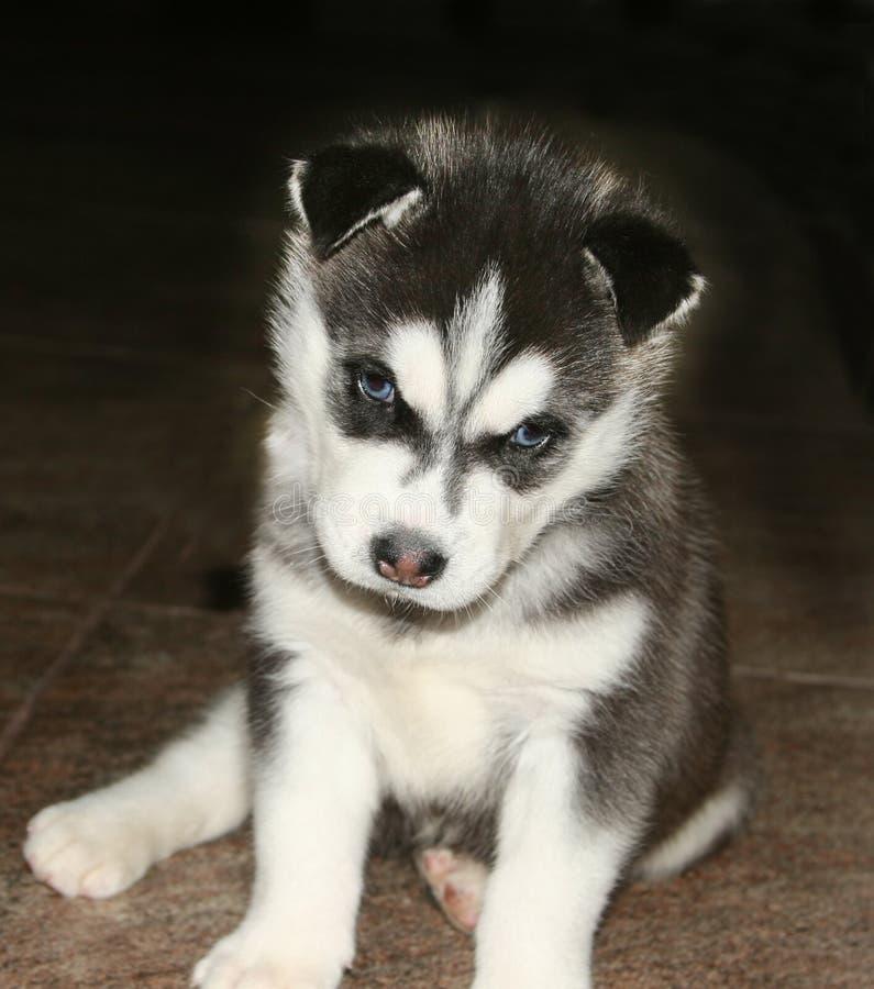 Husky siberiano lindo del perrito blanco y negro con los ojos azules imagen de archivo