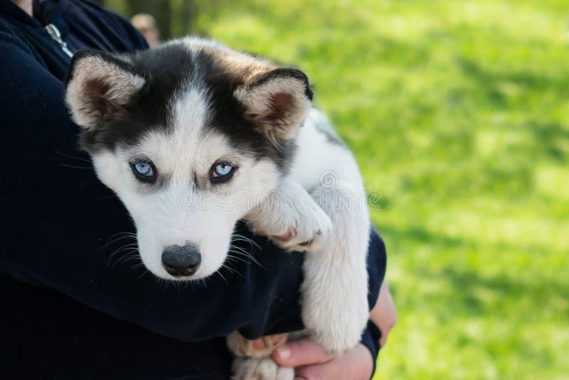 Husky siberiano lindo del perrito blanco y negro con los ojos azules en fotografía de archivo