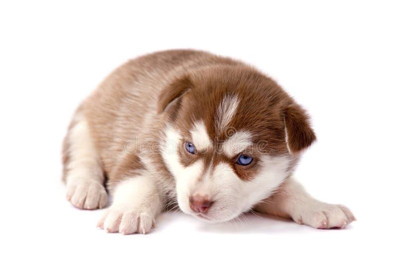 Husky siberiano marrón lindo del perrito, en blanco fotos de archivo libres de regalías