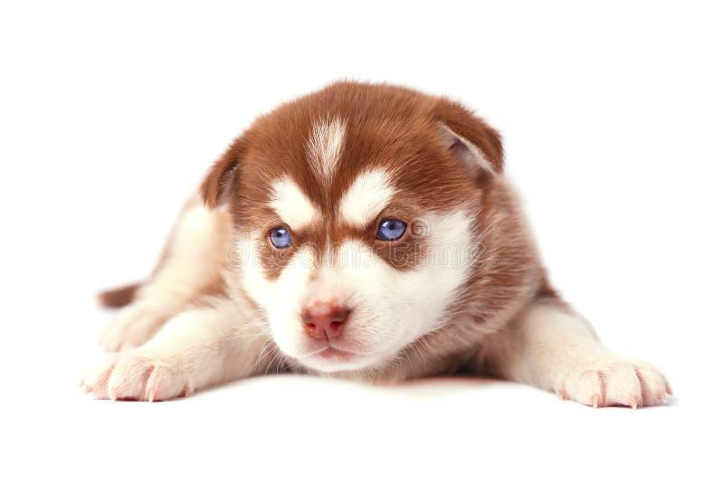 Husky siberiano marrón lindo del perrito, en el fondo blanco fotos de archivo