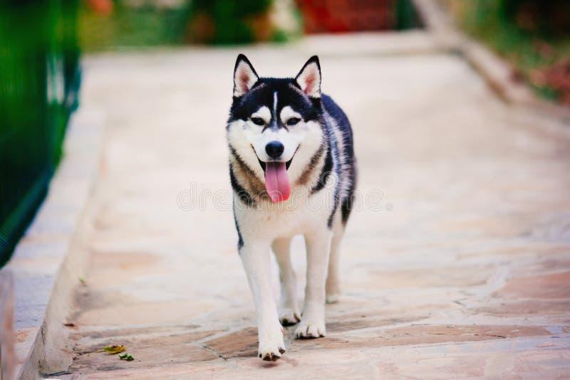 Husky siberiano que camina en la trayectoria fotos de archivo