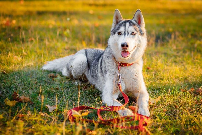 Husky siberiano que descansa en el parque fotos de archivo