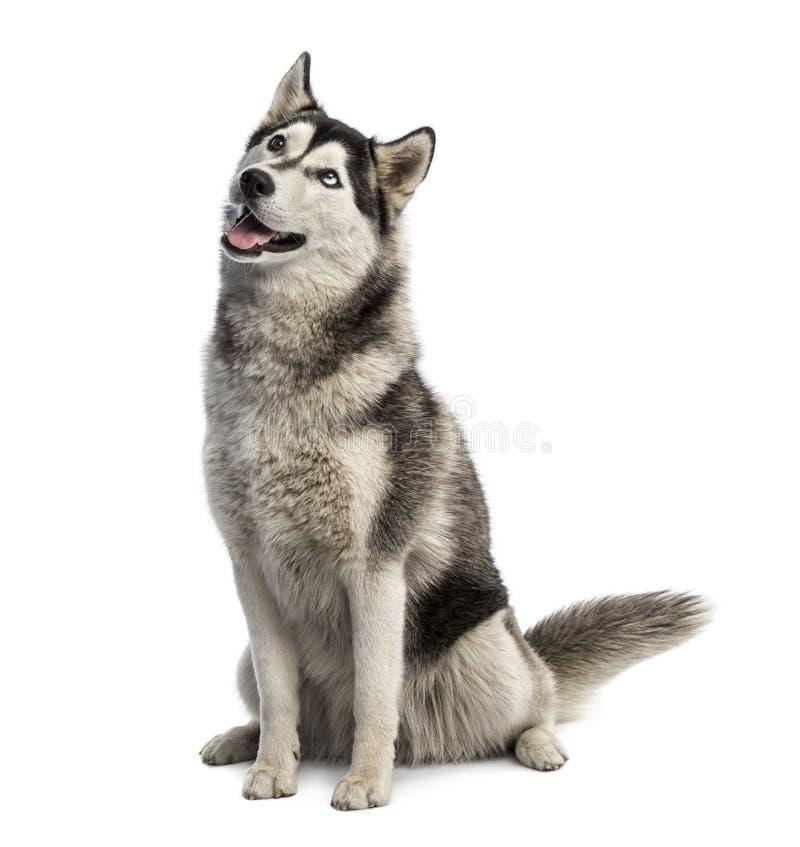 Husky siberiano que se incorpora y que mira imágenes de archivo libres de regalías
