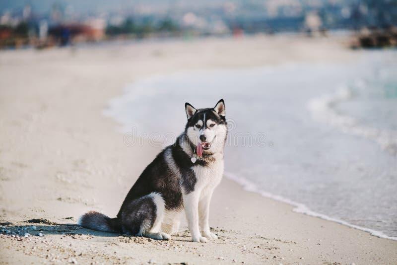 Husky siberiano que se sienta en la playa fotografía de archivo