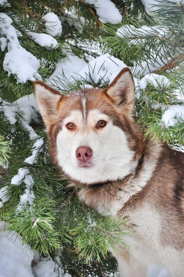 Husky siberiano rosso circa gli alberi innevati fotografia stock libera da diritti