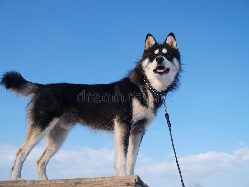 Husky on the sky background. Beautiful black and white dog looks from above. Husky on the sky background stock image
